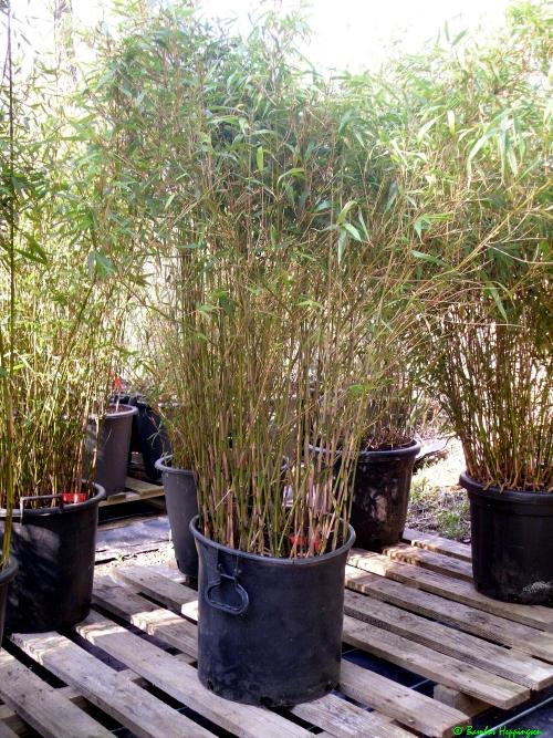 bambus kaufen. Black Bedroom Furniture Sets. Home Design Ideas